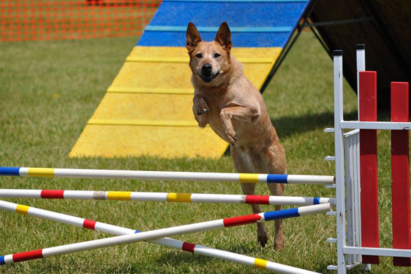Much Hadham Fete Dogagility Main